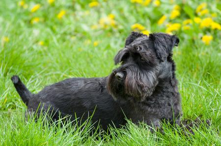 Black Miniature Schnauzer Dog Laying on Grass with Dandelions photo