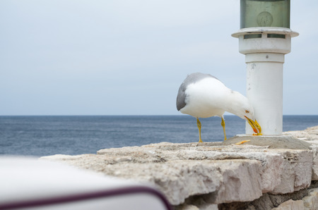 mendicant: Seagull Eating Food Residues on Stone Wall Stock Photo