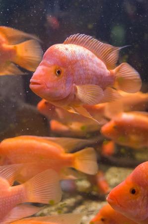 School of South American Orange Amphilophus Citrinellus Fishes