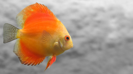 discus: Melon Discus Fish with Simple Gray Background