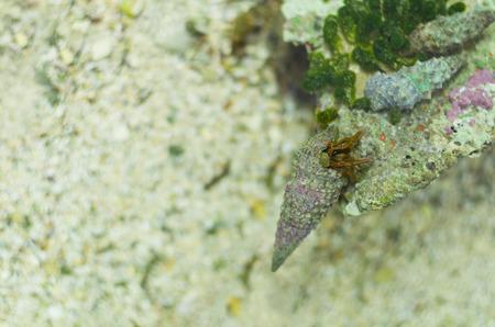 gastropod: Hermit Crab in Gastropod Shell on the Rock