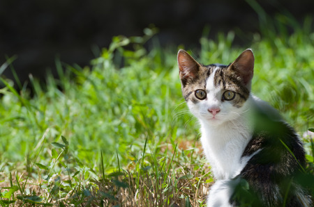 midday: Multicolored Dun Young Kitten Cat Watching in Green Grass at Midday
