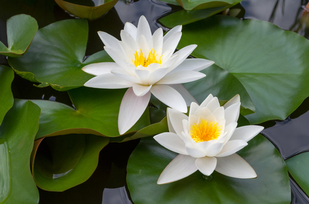 European White Waterlily with Green Leaves Closeup from Above Stock Photo