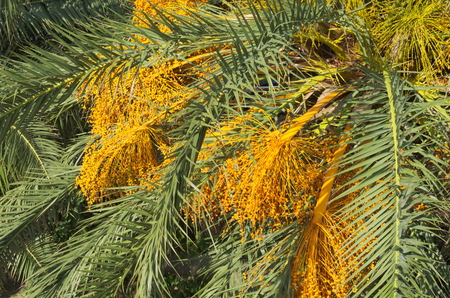 dactylifera: Yellow Date Palm Harvest on a Summer Day Closeup Stock Photo