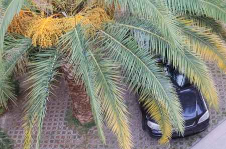 date palm tree: Black Car Parking under Date Palm Tree View From Above