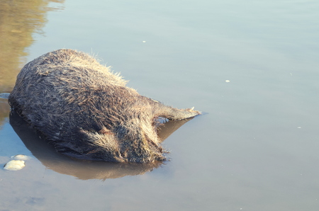 drowned: Dead Boar Wild Animal Drowned in the Water Horizontal Stock Photo