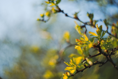 Blurred Fresh Green Sorbus Leaves in Spring Stock Photo