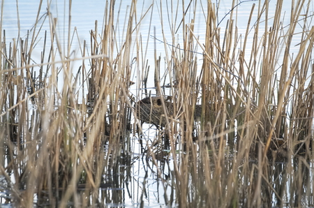 Coypu Animal Swimming in the Water between Dry Reeds