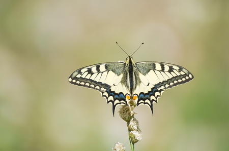 Yellow Old World Swallowtail Papilio Machaon Butterfly Stock fotó