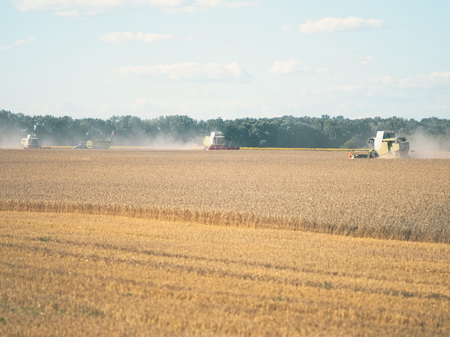 Wheat Harvesting with Combine Harvesters on a Sunny Summer Day