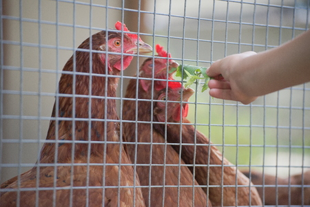 Child Feeding Chickens with Green Leaves thru Wire Fence