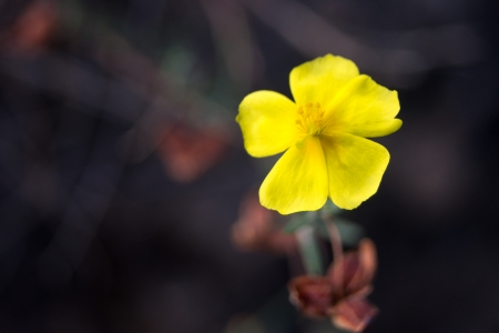 Potentilla erecta. Beautiful yellow flower on a dark background. photo