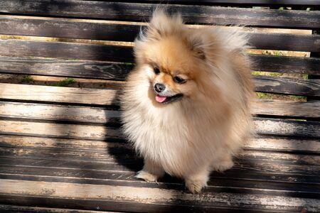 Pommerscher Spitz in cremefarbener Zobelfarbe, Foto auf der Bank. Hund mein bester Freund.