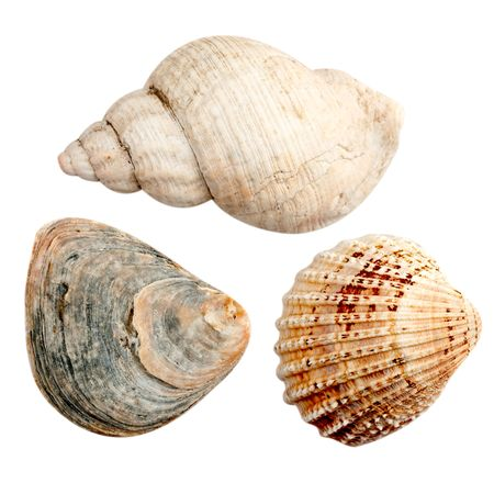 gastropoda: Three high resolution pictures of seashells.  A gastropoda spiral shell and two bivalvia shells. Stock Photo