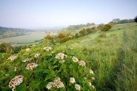 Some white flowers by the side of a footpath in Surreys  North Downs, UK. Taken on a hazy morning just after sunrise in May. photo