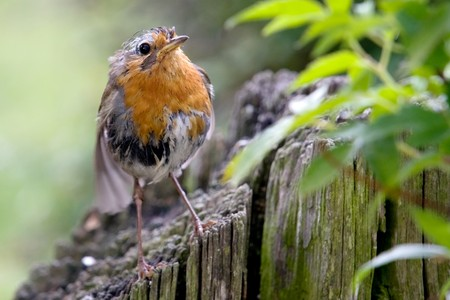 soggy: A robin that is a bit soggy from the rain