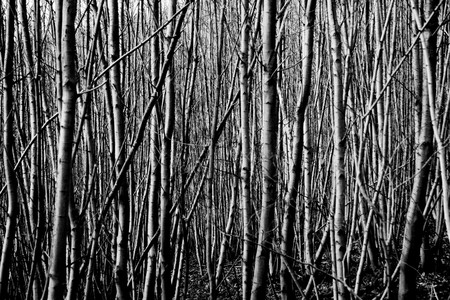 black and white forest: A black and white background pattern of a bunch of tree trunks