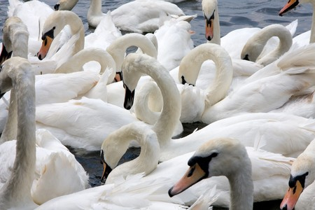 bevy: A bevy of swans on the River Thames in Windsor, UK.