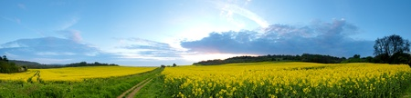 A 180 degree view of a rapeseed field with a track running through it.