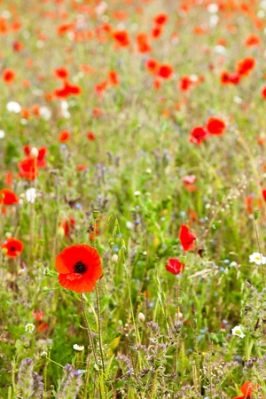 front facing: A full frame shot of a filed of poppies.  Shallow depth of field with focus on the front facing poppy.