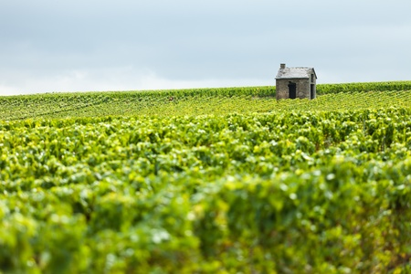 champagne region: A hut stands alone in a vineyard in the Champagne Region of France.