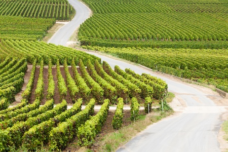 wine road: A road zig zags through a vineyard in the Champagne Region of France. Stock Photo