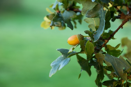 english oak: Focus on a single acorn on an English oak tree.  Shallow depth of field with a green background.