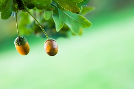 english oak: Focus on two acorns hanging on an English oak tree.  Shallow depth of field with a green background. Stock Photo