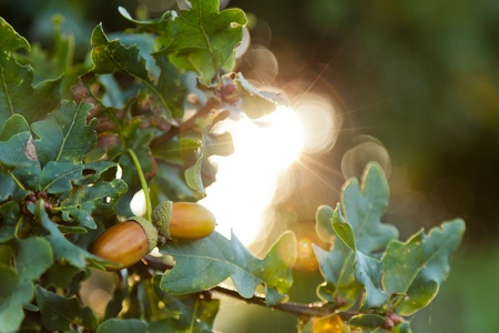 english oak: Focus on two acorns hanging on an English oak tree.  Shallow depth of field with the rising sun creating a sunburst.