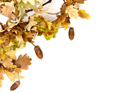 A simple border made up of autumnal oak leaves and acorns. photo
