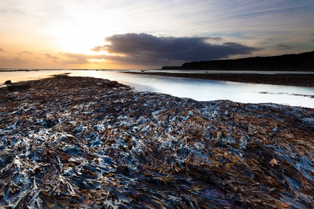 A mass of serrated wrack seaweed attached to the rocks in Kimmeridge Bay in Dorset, UK.  Low tide and a setting sun. photo