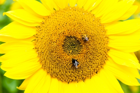 Two bees collecting nectar on the head of a bright yellow sunflower. Stock Photo - 16541613