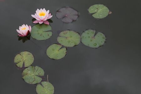 Beautiful pink lotus flower blooming in the wild pond with water droplets on the green leaves. Shot at day lights. Archivio Fotografico - 138198364