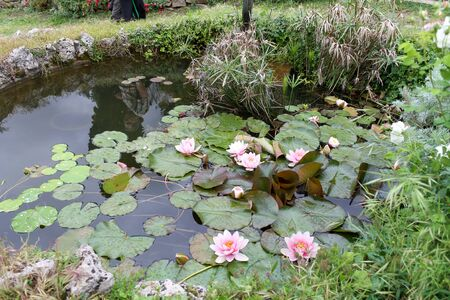 Pink lotuses floating in the green wild pond Archivio Fotografico - 138202691