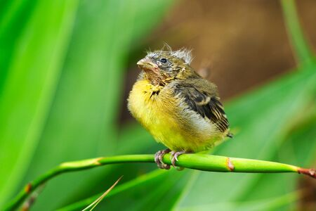 California Lesser Goldfinch baby