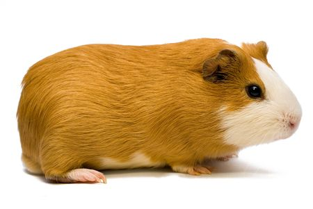 guinea pig over white photo