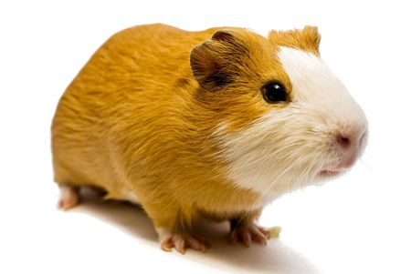 sniffle: curious guinea pig on the white background