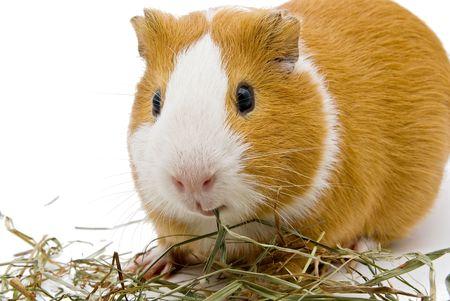 cavie: cavia mangiare fieno sullo sfondo bianco