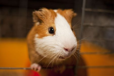 a curious guinea pig looking out of the cage photo
