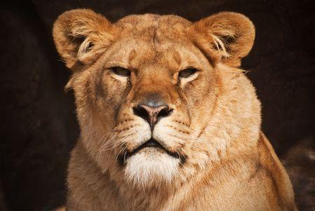 a beautiful portrait of a female lion
