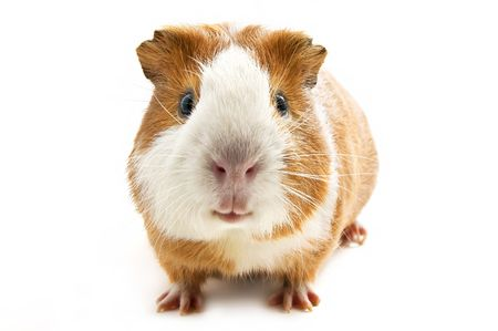 squeak: guinea pig on the white background