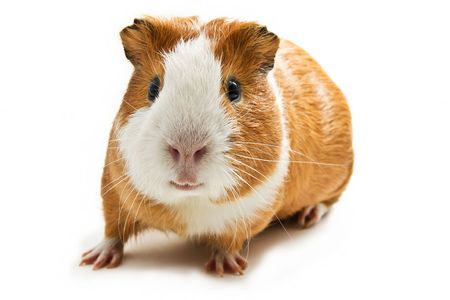 cute pig: guinea pig on the white background