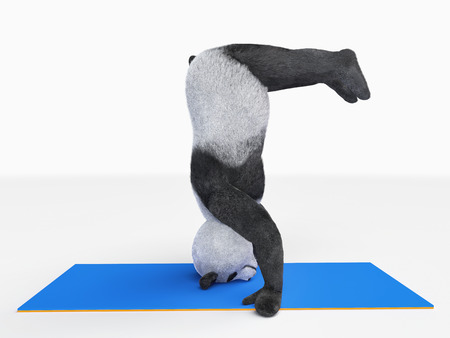 headstand: Panda doing headstand
