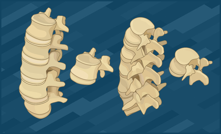 intervertebral disc: Human spine bones flat isometric vector illustration. Illustration