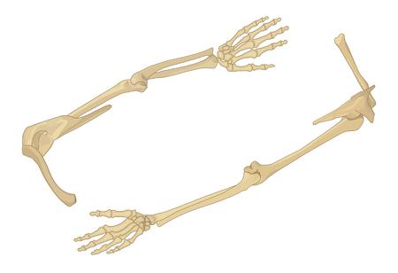 어깨 뼈 평면 아이소 메트릭 벡터 일러스트 레이 션입니다. 팔 뼈 3d 벡터 일러스트 레이 션입니다. 인간의 견갑골 뼈 아이소 메트릭. 인간의 손 벡터 평