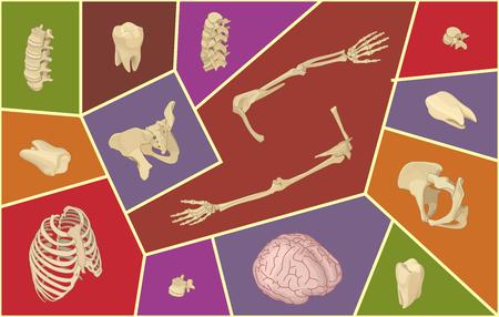 spinous: Isometric vector illustration with human bones. Skeletal anatomy set. Isol