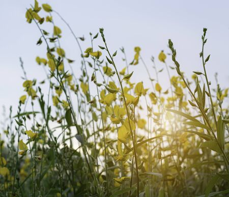 colorful of crotalaria juncea flower with sky and sunrise background at morning