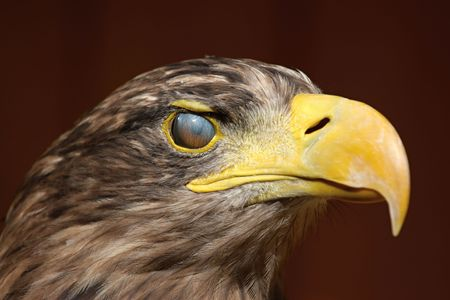 Eyewink, Sea eagle (Haliaeetus albicilla), ZOO Jihlava Stock Photo - 5329921