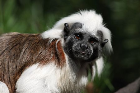simian: Monkey Tamarin Pinc (Saguinus oedipus), ZOO Jihlava Stock Photo