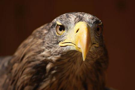 Profile of a sea eagle (Haliaeetus albicilla), ZOO Jihlava photo